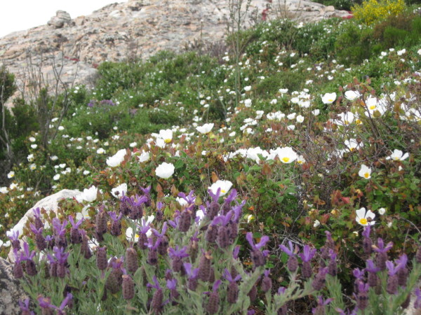 Zistrose, Lavendel & Co. - Macchia Blumen