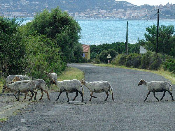 Brocciu - aus Ziegen oder Schafsmilch hergestellt